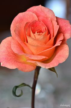 Lovely color of Rose