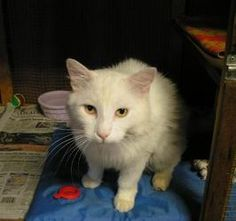 Mango is an adoptable Domestic Medium Hair Cat in Paradise, CA. Please contact Dolly ( dollyleo@sbcglobal.net ), (530) 520-2215 for more information about this pet. Handsome Boy Mango is a young frien...