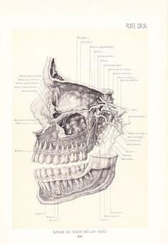 1899 Human Anatomy Print  Maxillary Nerves  Vintage by Holcroft, $20.00