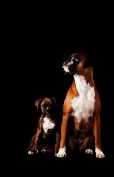 """Two lovely boxers dogs Hope you're doing well.Hope you're doing well.From your friends at phoenix dog in home dog training""""k9katelynn"""" see more about Scottsdale dog training at k9katelynn.com! Pinterest with over 20,600 followers! Google plus with over 165,000 views! You tube with over 500 videos and 60,000 views!! LinkedIn over 9,200 associates! Proudly Serving the valley for 11 plus years"""