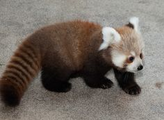 Red panda, otherwise known as the pandacoon!!!