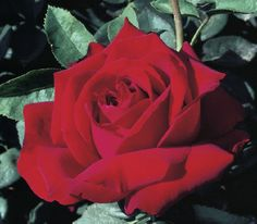 Long lasting blooms from spring to fall Large Flowers, Cut Flowers, Rose Varieties, Great Cuts, Hybrid Tea Roses, Peak Performance, Beautiful Roses, Bloom, Strong