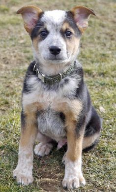australian cattle dog and lab mix