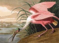 John James Audubon, The Birds of America 1827-38