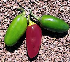 Numex Vaquery chili variety (Capsicum Annuum). Very good variety.