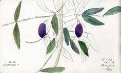 Un albero di ulivo. Con qualche frutto rimasto dall'ultima raccolta. Muti testimoni di una bella giornata in campagna, ad Itri (LT).OliveAcquerello e matita su Moleskine27 gennaio 2013