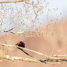 #square #spring #redwingedblackbird