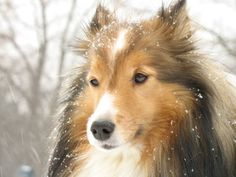 The top 10 smartest dog breeds is from the book, The Intelligence of Dogs by Stanley Coren, PhD. More than 200 professional dog obedience judges evaluated 110 breeds, Smartest Dog Breeds, Shetland Sheepdog Puppies, Dogs And Puppies, Doggies, Sheep Dogs, Collie Puppies, Collie Dog, Sheltie, Dog Life
