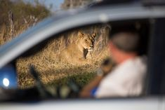 Out-of-focus tourists watching a lioness from the safety of their car, Hwange. #travel #safari #Africa #Zimbabwe #wildlife #wild #nature #animals #felines #cats #bigcats #lions #lioness National Park Lodges, Kruger National Park, National Parks, Herd Of Elephants, African Wild Dog, Out Of Focus, Wild Dogs, Wild Nature, African Elephant