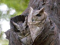 Owls in tree hole