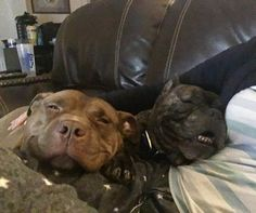 "6,685 Likes, 114 Comments - Lisa Reilly (@loveabulllisa) on Instagram: ""Current situation #goals #mypitbullisfamily #fresnobullyrescue #adoptdontshop…"""