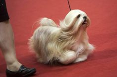 having a lhasa apso with a full coat is a pain in the ***, but look at that floating dog!