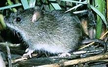 Silver Rice Rat | silver rice rat oryzomys argentatus endangered silver rice rat occupy