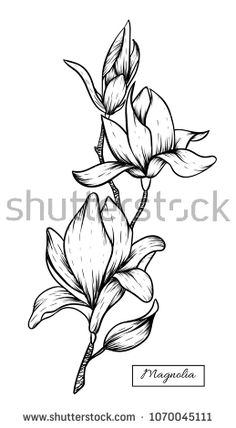 Find Magnolia Flowers Drawingvector Illustration Clip Art stock images in HD and millions of other royalty-free stock photos, illustrations and vectors in the Shutterstock collection. Flower Art Drawing, Pencil Drawings Of Flowers, Flower Sketches, Floral Drawing, Drawing Sketches, Flor Magnolia, Magnolia Flower, Art Drawings For Kids, Easy Drawings