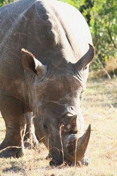 White Rhinocéros - Masai Mara, Western, Kenya Copyright: DAVID michel