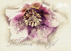 Helleborus orientalis  Digital Download Art botanical print