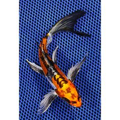 Pin by marie r on sealife pinterest koi butterfly koi for Large butterfly koi for sale