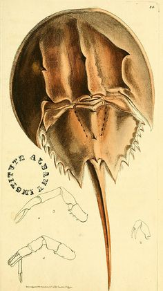 Horseshoe Crab, The zoological miscellany. London: Printed by B. McMillan for E. Nodder & Son,1814-1817 biodiversity library