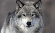 Eurasian Hunter The largest in the wolf family, this Eurasian/American canine can reach a weight of almost 100 lbs. Known for its skill in hunting large. Wolf Photos, Wolf Pictures, Wolf Images, Amazing Pictures, Coyotes, Film Wolf, Whats Your Spirit Animal, Wolf Poster, Citizen Science
