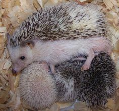 with her babies !!! Pygmy Hedgehog, Baby Hedgehog, Cute Baby Animals, Funny Animals, Garden Animals, Weird And Wonderful, Cute Faces, Belle Photo, Animals Beautiful
