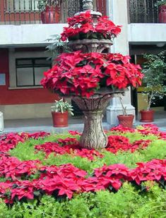 El cuidado de la flor de Nochebuena, tips/ Tips on how to maintain the Christmas flower alive in your home. Pinned on behalf of Pink Pad, the women's health mobile app with the built-in community.