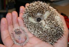 Baby animals are SOOO cute! Baby animals are cute too! Adorable and Cute Baby Animals Cute Animal Photos, Cute Photos, Animal Pictures, Cute Pictures, Baby Pictures, Animals Photos, Amazing Pictures, Travel Pictures, Cute Baby Animals