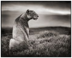 Stunning collection of creative wildlife photography by Nick Brandt. If you like wildlife pictures then you will love these! Nick Brandt, Image Photography, Wildlife Photography, Animal Photography, Stunning Photography, Beautiful Creatures, Animals Beautiful, Zoo Park, Lion And Lioness