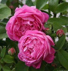 'Baronne Prevost' (1841). HP. Gevulde (8cm), lilaroze bloemen. Sterk geurend naar oude damastrozen. De herbloei is minder rijk dan de hoofdbloei. Gevoelig voor sterroetdauw. Hoogte 150cm.