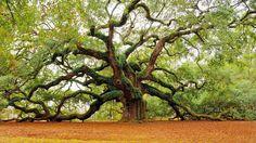 The Angel Oak Tree in Charleston (South Carolina)