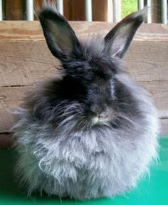 French Angora rabbit. This may become my next pet of choice.