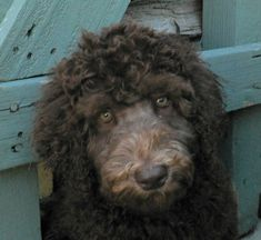 Royal Diamond Labradoodles - Grooming the Face of a Curly Fleece!