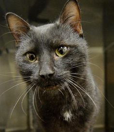 Name: Bowen Age: 6-8 months old on date of arrival (12/8/14) Breed: DSH Black How I Arrived At NHS: I was found as a stray and brought to Northwoods to be safe. Note From An NHS Volunteer: Bowen is a very friendly and sweet little guy! He's like the Northwoods house cat Joel in that when he's getting held and lots of affection, he'll sometimes drool slightly. He's just an affectionate guy who would make a great addition to your family!