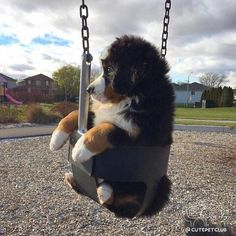 likes. Watch funny and cute dogs and puppies as they are the most lovable pets in the world. Cute Baby Dogs, Cute Dogs And Puppies, Cute Baby Animals, Animals And Pets, Doggies, Beautiful Dogs, Animals Beautiful, Burmese Mountain Dogs, Cute Animal Photos