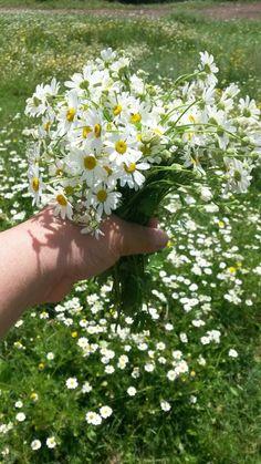 Giving Flowers, Little Flowers, Fresh Flowers, Wild Flowers, Beautiful Flowers, June Flower, Daisy Love, Daisy Daisy, Driving Miss Daisy