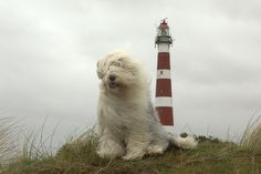 Old English Sheepdog Sophie at the lighthouse   Cees @ Flickr