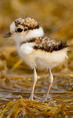 Little ringed plover - chick - Little ringed plover - Wikipedia Animals And Pets, Baby Animals, Cute Animals, Hawk Bird, Wildlife Paintings, Colorful Birds, Exotic Birds, Shorebirds, Lovely Creatures