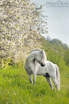 Welsh pony among the spring flowers.
