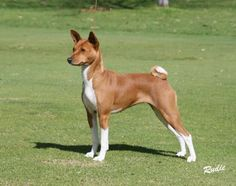 26 Best Basenji Perfect images in 2016 | Dogs of the world