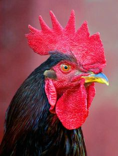 A Serious Rooster. More
