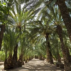 Palmeral of Elche, Spain © Institute of Cultural Heritage of Spain.  Ministry of Education, Culture and Sport / José Luis Municio