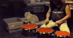(this is a very old Gif, but as a drummer, it is my all-time favorite) | The Best Cat GIF Post In The History Of Cat GIFs