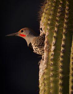 Flicker emerging from saguaro cactus nest cavity.