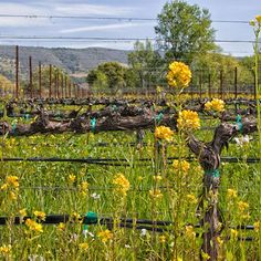 Napa Valley with Kids - suggestions for a family vacation in Napa Valley