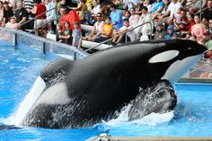 Tilikum Hes a Beast rip Keiko Orca, Free Willy, Seaworld Orlando, A Beast, Orcas, Killer Whales, Sea World, Ocean Life, Seals