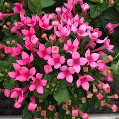 Pink Bouvardia - all year round