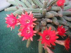 First flowers of my cactus