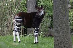 Limitado a florestas entre 500 e 1.500 metros de altitude, o ocapi (Okapia johnstoni) pertence à família da girafa. Sua alimentação é composta de mais 100 espécies de plantas, mas, apesar dessa variedade, o desmatamento – realizado por madeireiras e ocupações humanas (algumas ilegais, dentro de áreas protegidas) – colocou a espécie na lista vermelha de animais ameaçados de extinção. Em 24 anos houve uma redução de 50% na população da espécie. Status na IUCN (União Internacional para a…