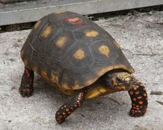 footed Adult tortoise red