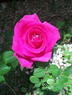meu jardim, Rosa cor de rosa
