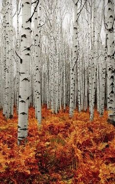 Love the white birch trees and the fall colors